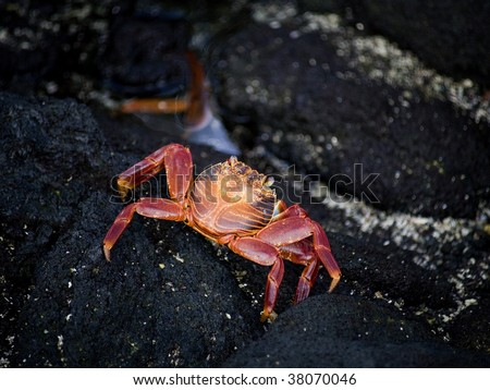 Sally Lightfoot Crab on the lava rocks in the Galapagos islands