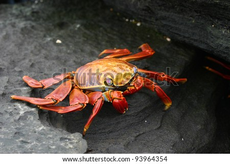 Sally Lightfoot Crab, or Graspus Graspus, also known as Red Rock Grab, on the Galapagos Islands - stock photo