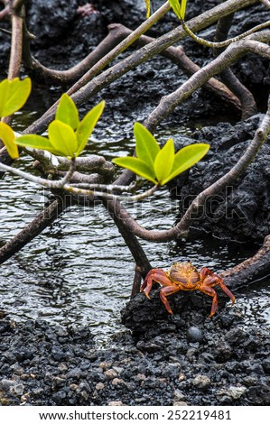 Sally Lightfoot Crab ore Red cliff crab from Galapagos Islands, Ecuador - stock photo
