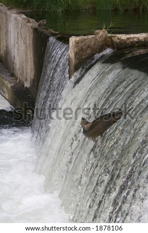 Salmon jumping up the engineered part of Tumwater Falls on the Deschutes River, Tumwater Washington. - stock photo
