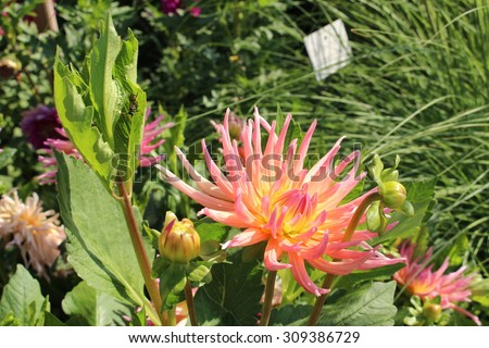 """Salmon pink """"Hybrid Dahlia Alfred Grille"""" flower in Munich, Germany. It is classified as """"Cactus Dahlia"""" and native to Mexico. - stock photo"""