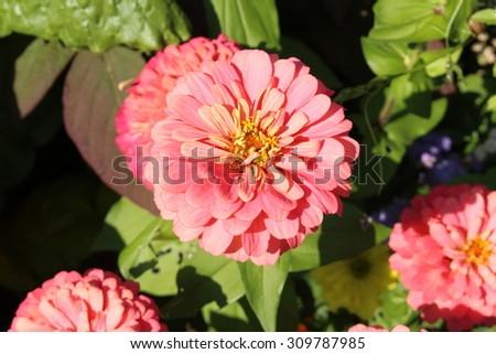 """Salmon pink """"Zinnia"""" flower in Munich, Germany. Its scientific name is Zinnia Violacea Columbus Salmon (syn. Zinnia Elegans), native to Mexico. - stock photo"""
