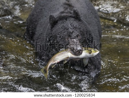 Salmon Surprise - Wasn't this salmon surprised to be grabbed out of the water in the clutches of a black bear. Anan Creek, Wrangell, Alaska