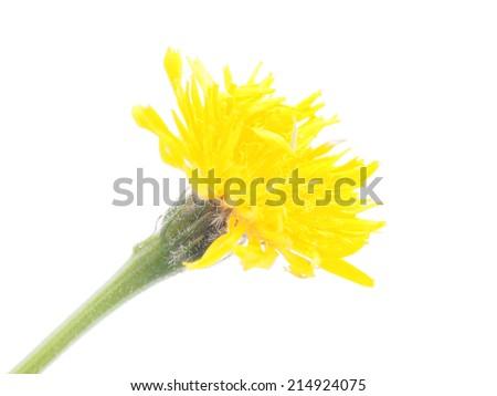 salsify flower - stock photo