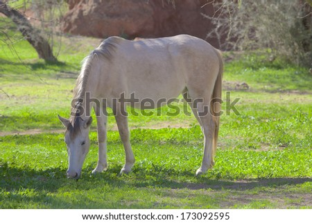Salt River Wild Horse Grazing