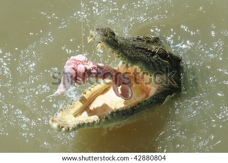 Salt water crocodile gets feeding on the Adelaide River, Northern Territory, Australia - stock photo