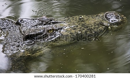 Saltwater Crocodile, also known as Saltie, Estuarine or Indo-Pacific Crocodile. It is the largest of all living reptiles, as well as the largest terrestrial and riparian predator in the world. - stock photo