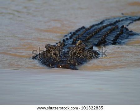 Saltwater crocodile, Australia - stock photo