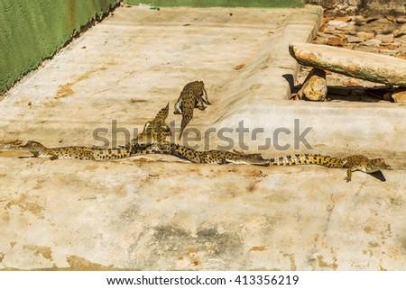 Saltwater crocodile juveniles - stock photo