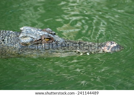 Saltwater Crocodile, North Australia - stock photo
