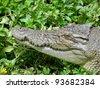 Saltwater Crocodile, Queensland, Australia - stock photo