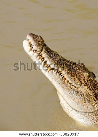Saltwater or Estuarine Crocodile (crocodylus porosus), Northern Territory Australia - stock photo