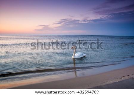 Saltwater swan in the Baltic sea, Slowinski National Park, Poland, Europe - stock photo