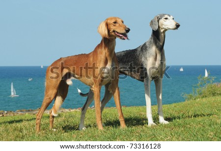 Saluki dogs on grass with sea in the background - stock photo
