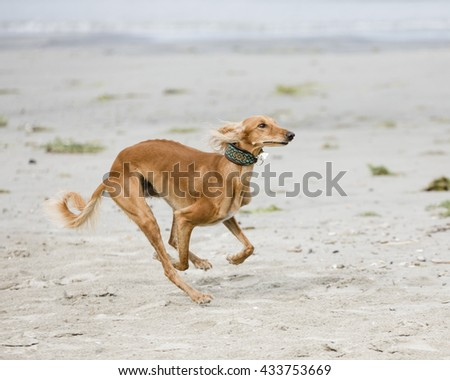 Saluki (persian greyhound) is playing on a beach