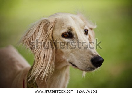 Saluki portrait (head only) on blurred background - stock photo