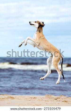 saluki puppy jumping up on a beach - stock photo