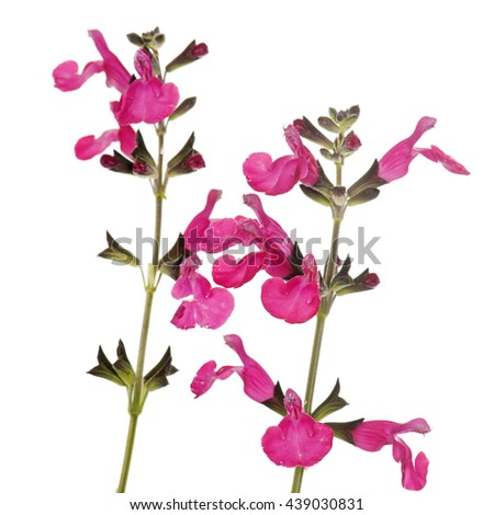 Salvia microphylla in front of white background - stock photo