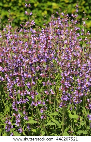 Salvia officinalis in blossom - stock photo