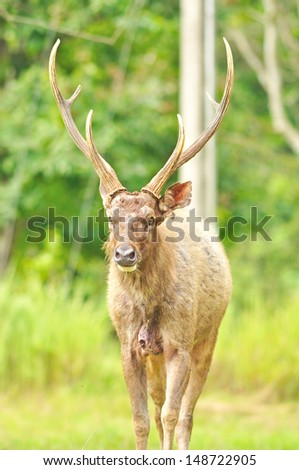 Sambar deer at Khao Yai national park, Thailand