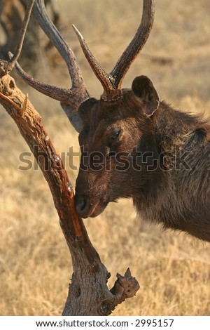 Sambar deer (Cervus unicolor) scent marking, Ranthambore National Park, Rajasthan, India - stock photo