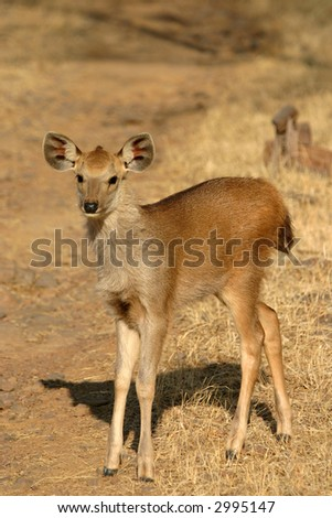 Sambar deer fawn (Cervus unicolor), Ranthambore National Park, Rajasthan, India - stock photo