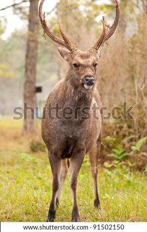 sambar deer in Phukradueng National Park
