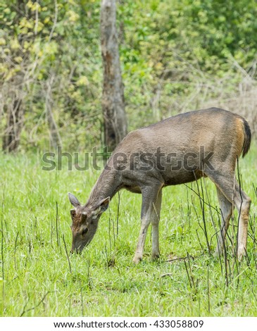 Sambar stag with velvet antler in Jim Corbett national park