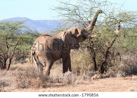 Same old bull elephant using his trunk to get the leaves from between the thorns. - stock photo