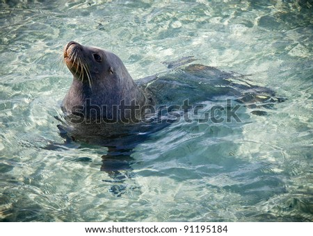 Sammy the  Sea Lion. Wild Sea Lion which comes ashore everyday in Esperance, Western Australia. - stock photo