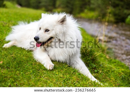Samoyed dog in Romania.