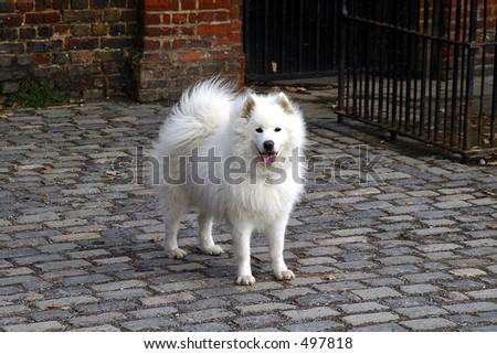 samoyed dog standing on cobbled footpath - stock photo
