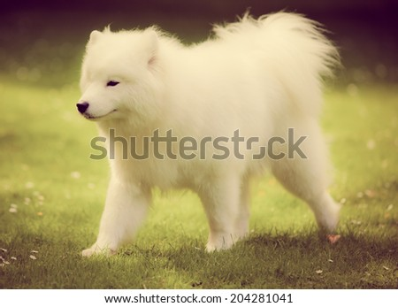 Samoyed dog  with a instagram filter - stock photo