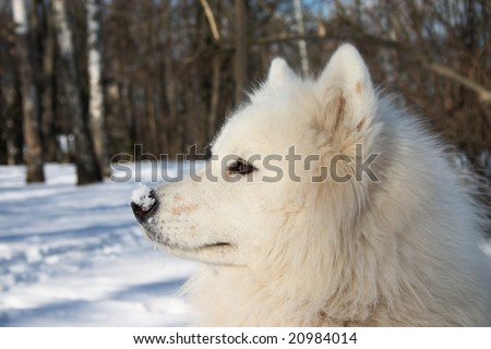samoyed dor with snow on its nose
