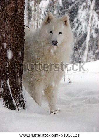 Samoyed in the snow by a tree