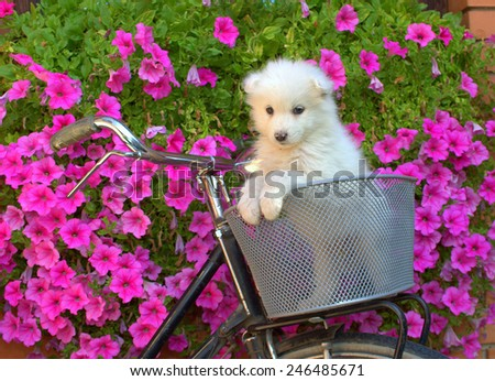 Samoyed puppy in bicycle basket. - stock photo
