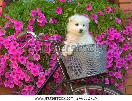 Samoyed puppy in bike basket - stock photo