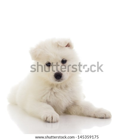 Samoyed puppy / samoyed puppy laying down and looking in the camera in a studio. isolated on white. - stock photo