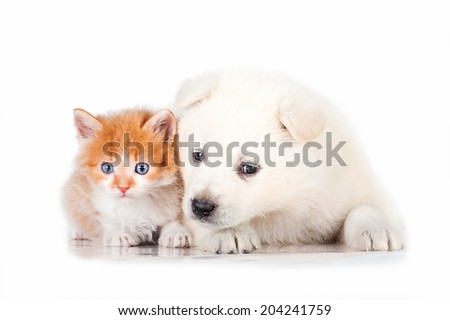 Samoyed puppy with little red kitten with blue eyes