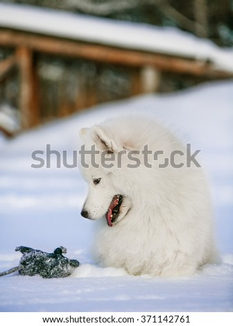Samoyed sitting and looking at a toy mouse in the snow in a winter snow-covered park