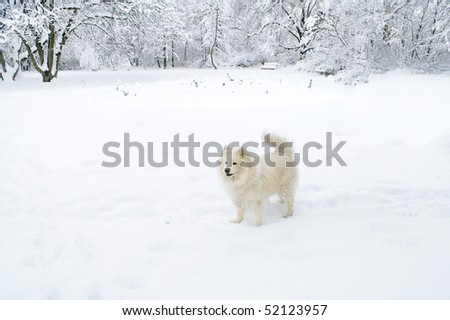 Samoyed standing alert in a winter forest