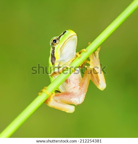 San Antonio Frog (Hyla arborea). European Tree Frog.  - stock photo
