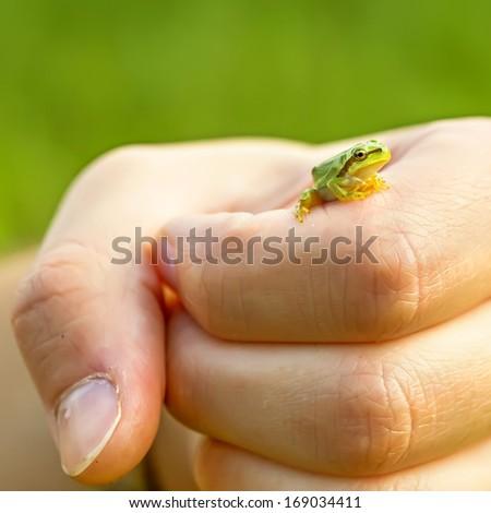San Antonio Frog (Hyla arborea) on hand. European Tree Frog.  - stock photo