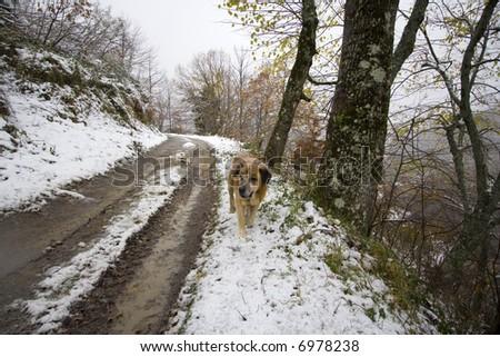 San-bernardo sheppard dog in the snow - stock photo