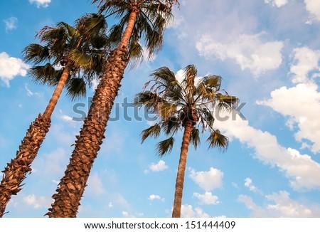 San Diego Palm Trees and Blue Sky, San Diego Southern California - stock photo