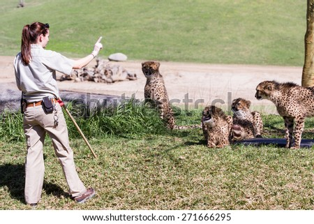 San Diego Zoo Safari, Escondido, California - March 04 : zoo keepers feeding the cheetahs, March 04 2015 in San Diego Zoo Safari, Escondido, California. - stock photo
