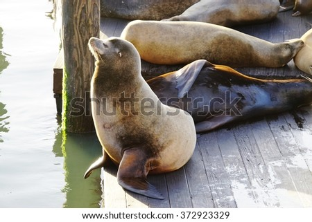 SAN FRANCISCO, CA -3 JANUARY 2016- The iconic sea lions at Pier 39 in San Francisco on the bay facing Alcatraz have been a major tourist attraction for 25 years. - stock photo