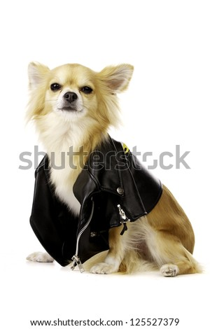 Sand Coloured Chihuahua Looking Scornfully at the Camera Wearing a Black Leather Biker Jacket