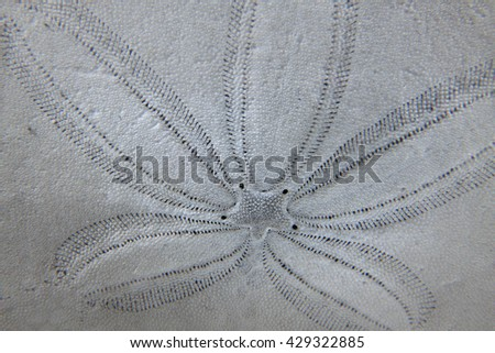 Sand Dollar Sea Shell Formation - stock photo