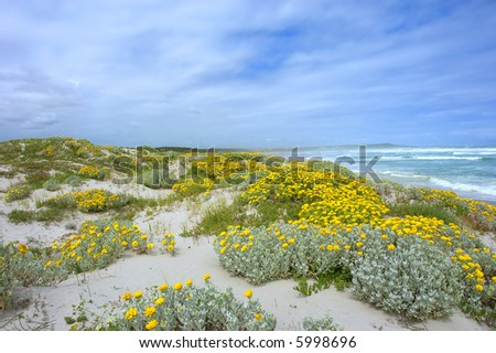 Sand hill with wild flowers next to beach. Shot on West Coast, between Grotto Bay nature reserve and Silwerstroomstrand, Western Cape, South Africa. - stock photo
